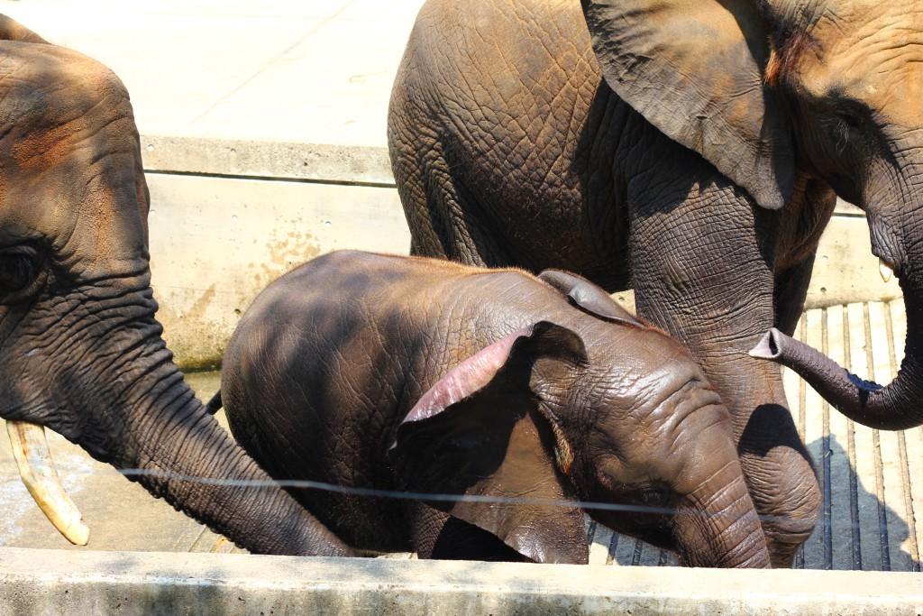 アフリカゾウの家族